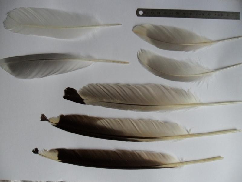 Différenciation des plumes de goélands (adultes) Sam_6413