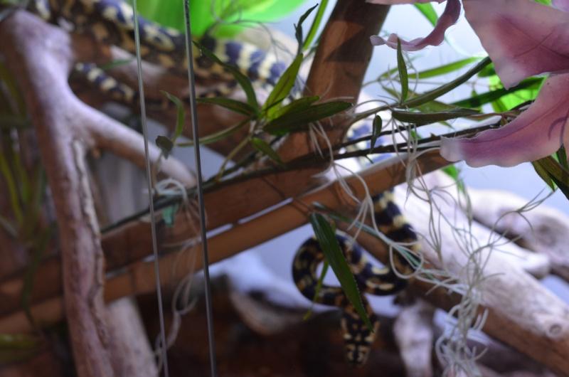 Morelia spilota cheynei 2013 Dsc_5710