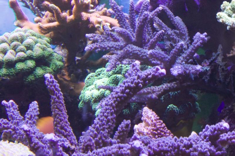 Le nouveau Reef d'Alexpilon, 600l custom - Page 37 _mg_2117