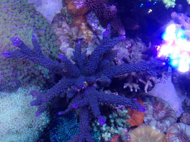 Le nouveau Reef d'Alexpilon, 600l custom - Page 37 Img_7321