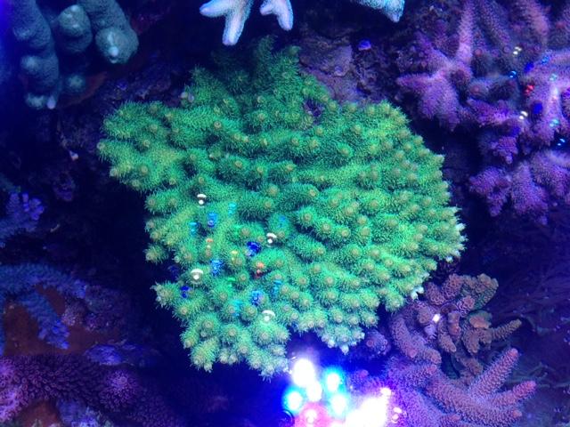Le nouveau Reef d'Alexpilon, 600l custom - Page 37 Img_7322