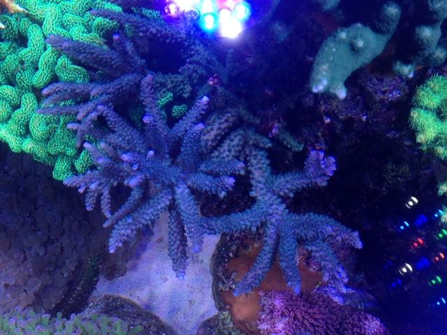 Le nouveau Reef d'Alexpilon, 600l custom - Page 37 Img_7323
