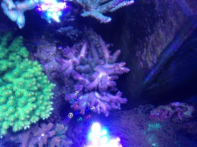 Le nouveau Reef d'Alexpilon, 600l custom - Page 37 Img_7328