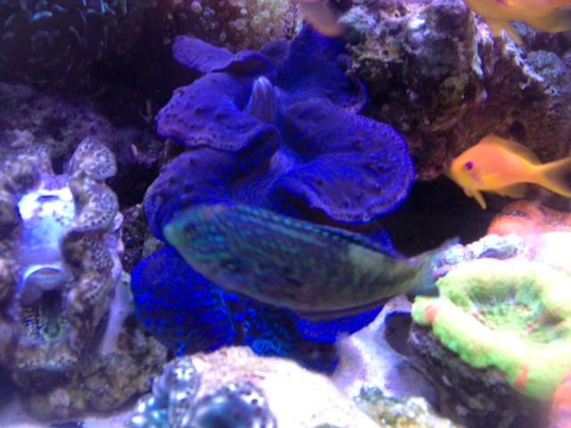 Le nouveau Reef d'Alexpilon, 600l custom - Page 38 Img_7415