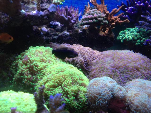 Le nouveau Reef d'Alexpilon, 600l custom - Page 38 Img_7616