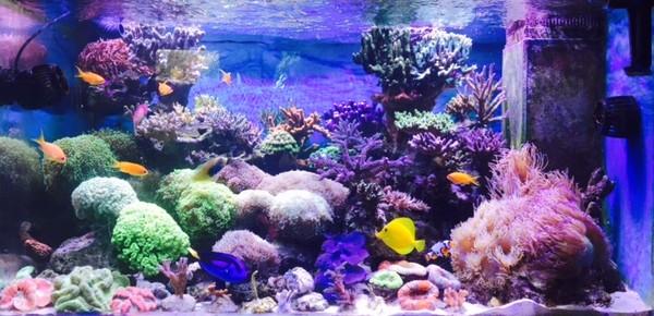 Le nouveau Reef d'Alexpilon, 600l custom - Page 37 Sans_t10