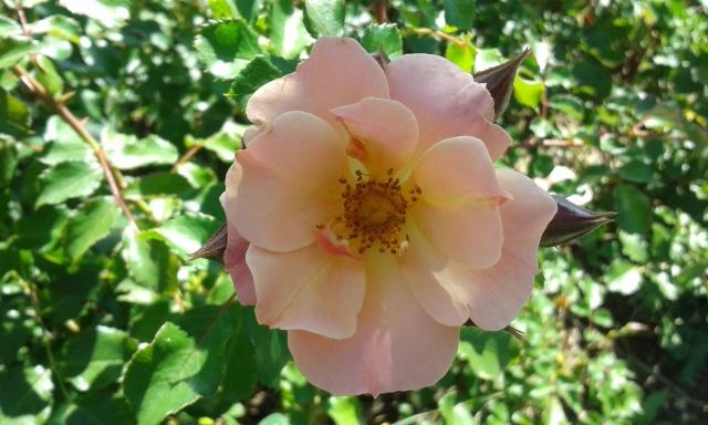 le royaume des rosiers...Vive la Rose ! - Page 14 20150712