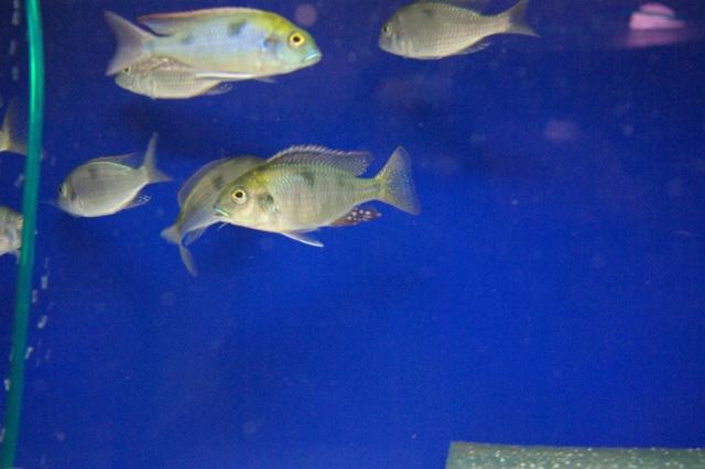 Tramitiochromis Intermedius Kambiri Tramit10