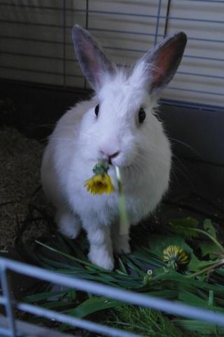 (Clos, merci à tous) Appel aux dons pour Skadi la lapine 13-10-10