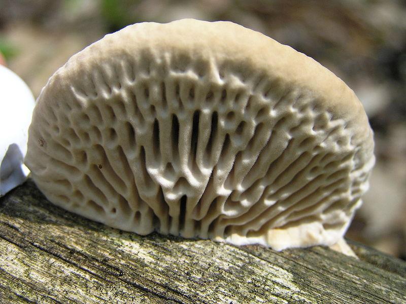 les champignons par ordre alphabétique. - Page 2 Daedal10