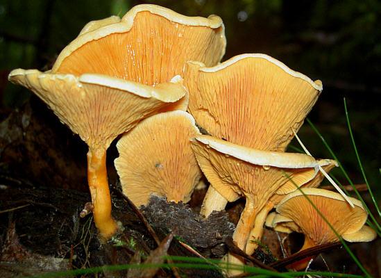 les champignons par ordre alphabétique. - Page 3 Hygrop10