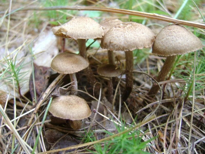 les champignons par ordre alphabétique. Inocyb11