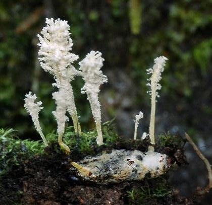 les champignons par ordre alphabétique. - Page 2 Isaria10