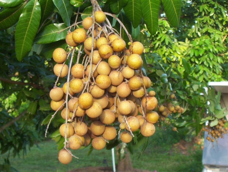 Fleurs,....fruit,.....tout ce qui se mange,...se boit....ou qui vient de la nature.......... - Page 38 Longan10