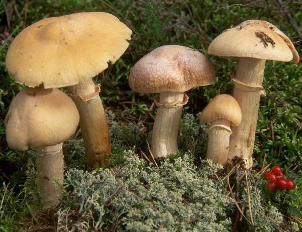 les champignons par ordre alphabétique. - Page 2 Rozite10