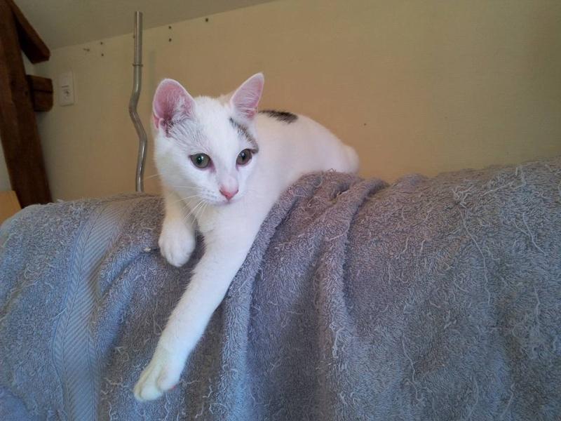 Liro - chaton blanc et tabby né le 15 Mai 2015 10410810