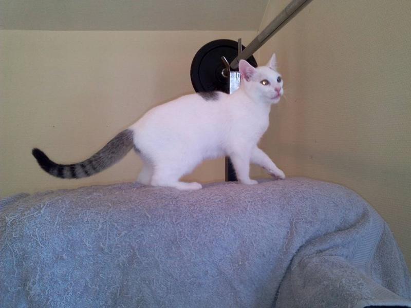 Liro - chaton blanc et tabby né le 15 Mai 2015 12096010