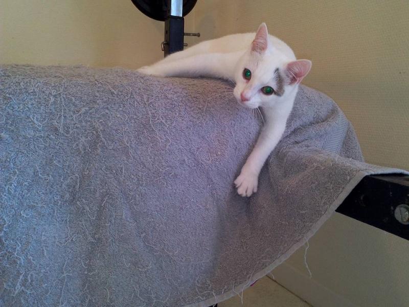Liro - chaton blanc et tabby né le 15 Mai 2015 12107210