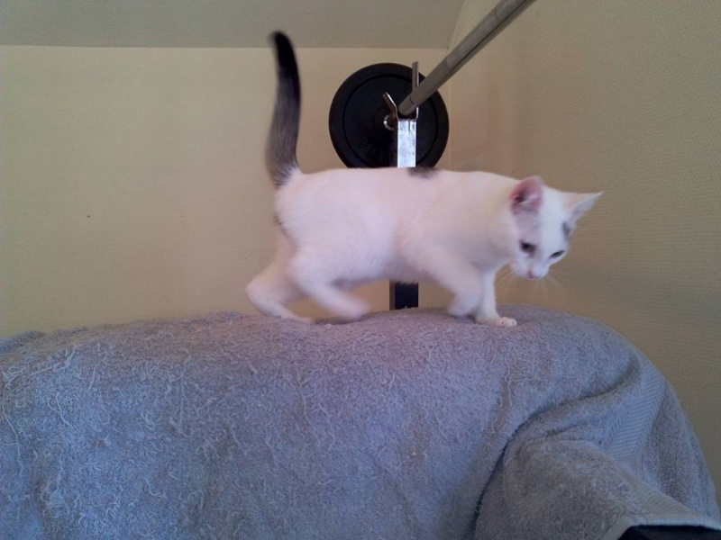 Liro - chaton blanc et tabby né le 15 Mai 2015 12115510