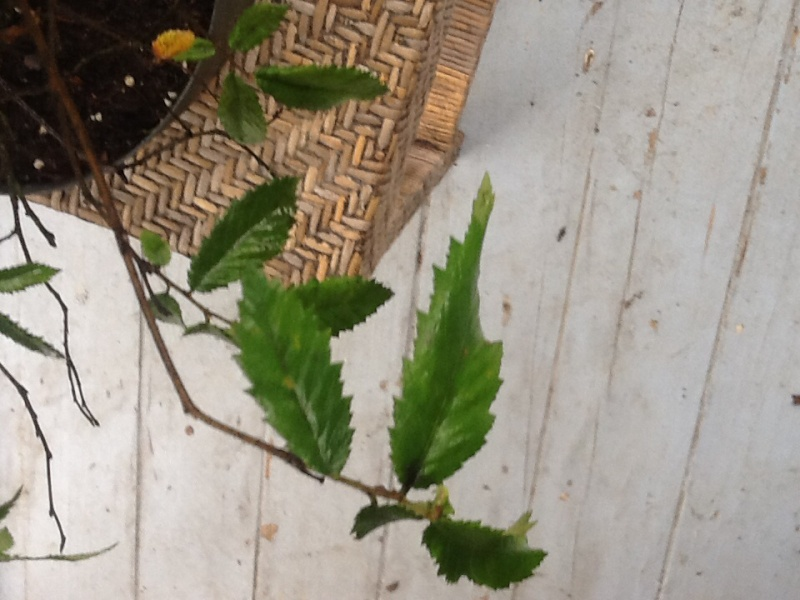 American elm bonsai Image29
