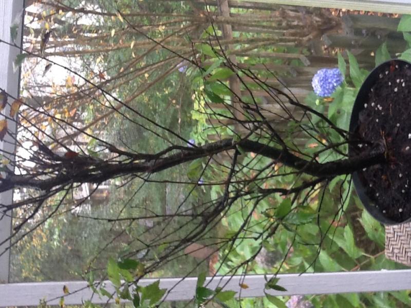 American elm bonsai Image30