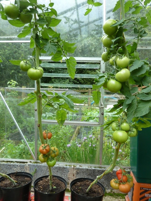 Tomato growing systems - Page 2 P1010610