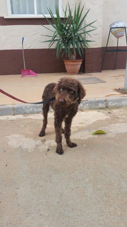 Cacao - chien d'eau Espagnol 5 mois 12038110