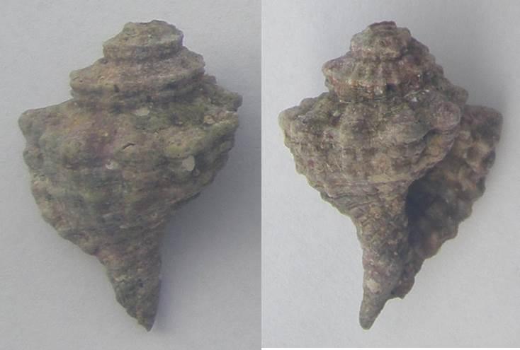 Cymatium trigonum ? de Tenerife à confirmer Cymati10