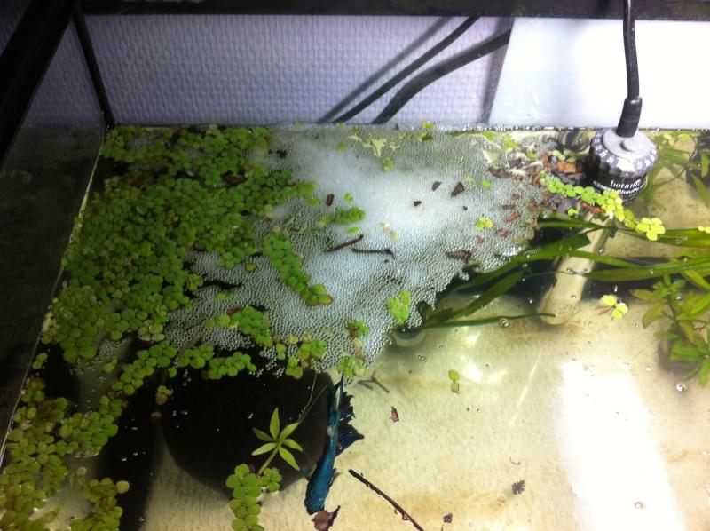 HM black lace dragon * HM green lace, MrAlti Img_1412
