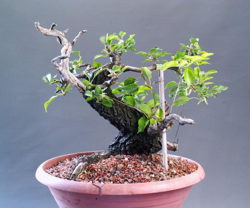 Prunus mahaleb_Zorro Back_a10