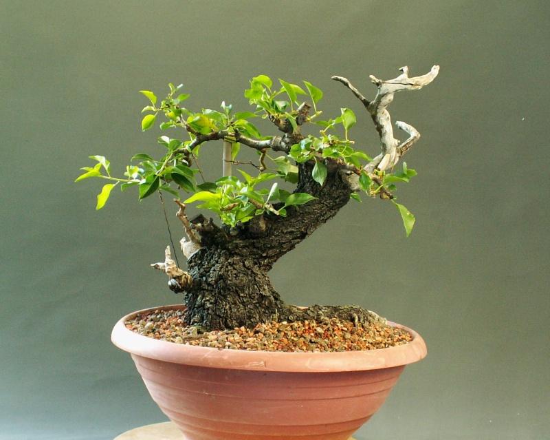 Prunus mahaleb_Zorro Front_10