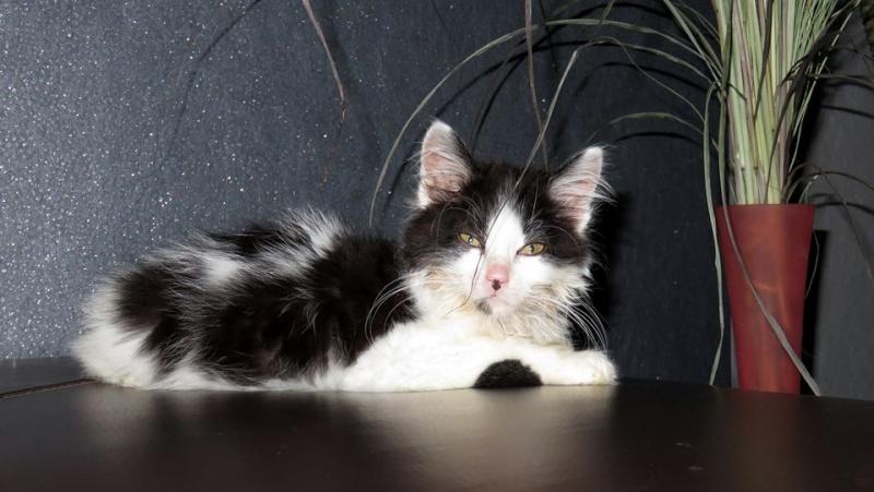 Lutti, mâle, .... 2015, noir et blanc poil long Lutti110