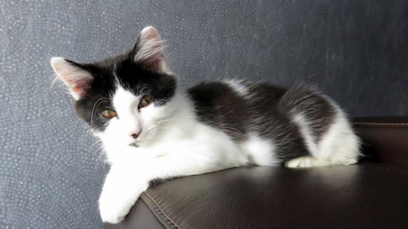 Lutti, mâle, .... 2015, noir et blanc poil long Lutti810