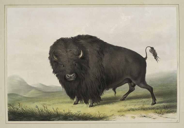 [Grainville, Patrick] Bison Buffal10