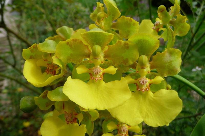 Lophiaris bicallosa, Syn. Oncidium bicallosum P1320911
