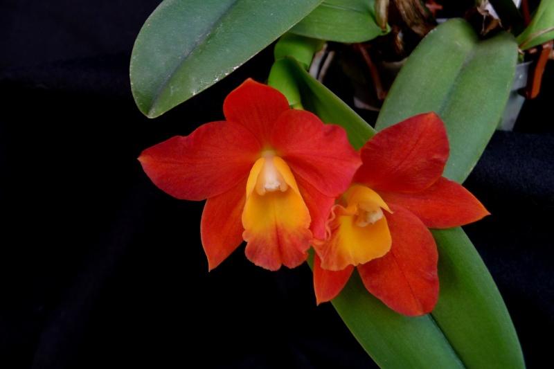 Rhyncholaeliocattleya  Chian-Tzy `Goldenorange` P1330113