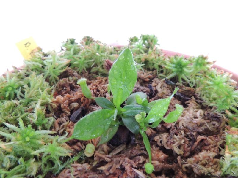 Nepenthes hors terrarium Dscn1811