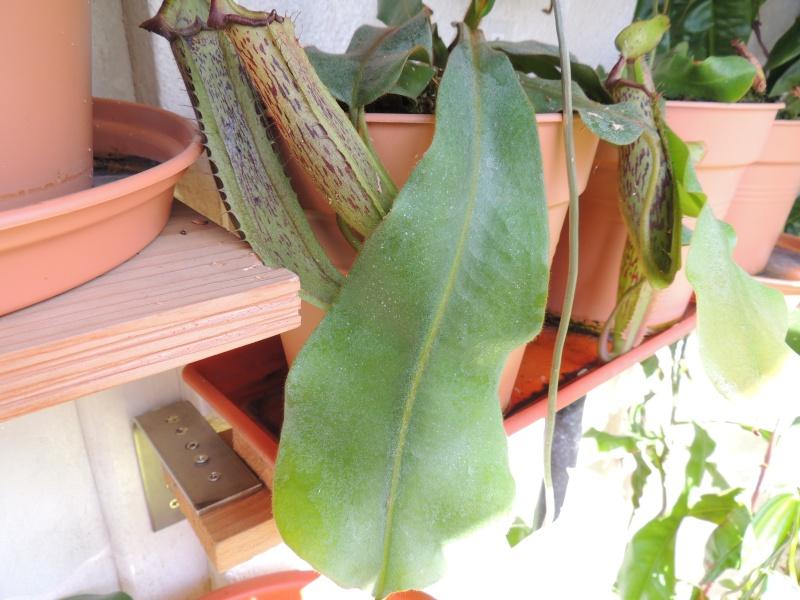 Nepenthes hors terrarium Dscn2018