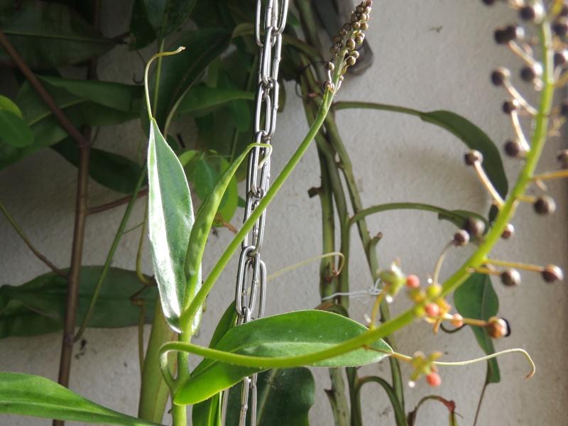 Nepenthes hors terrarium Dscn2022