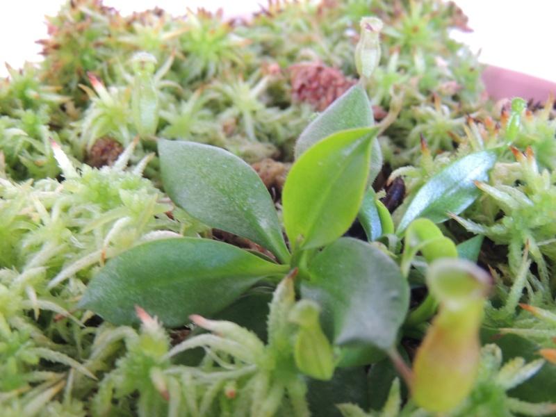 Nepenthes hors terrarium Dscn2114
