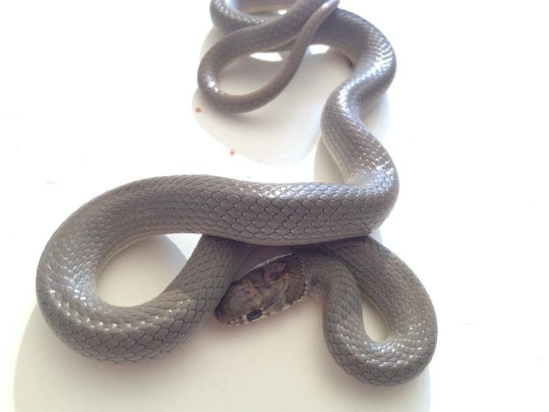 Eirenis modestus modestus  Femell12
