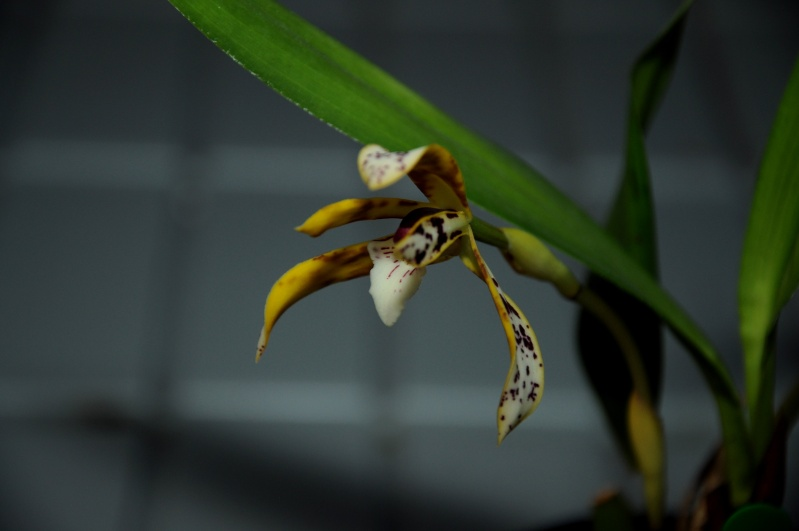 Maxillaria picta Dsc_6211