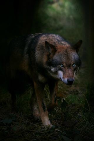 Diamonique  Mwolf10
