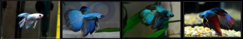 RSN PK Koi / HM jaune dragon -VIDEO !!! - Page 24 Dsc_0043