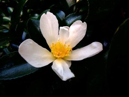 Camellia , saison 2015 - 2016 Semis110