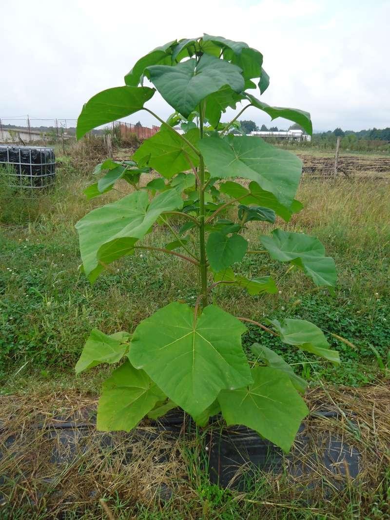 Paulovnija brzorastuće drvo Dsc09011