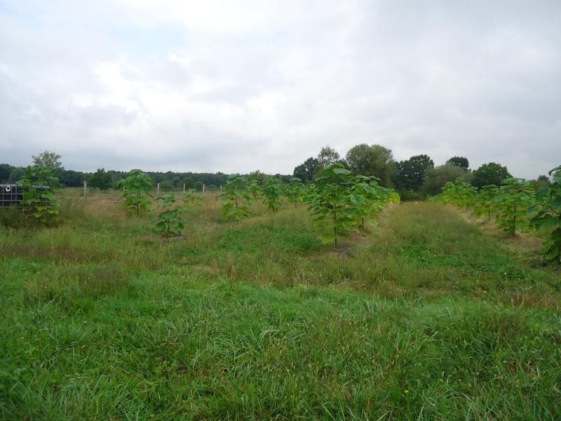 Paulovnija brzorastuće drvo Dsc09012
