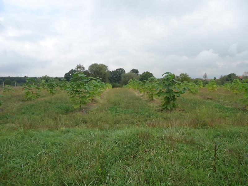 Paulovnija brzorastuće drvo Dsc09013