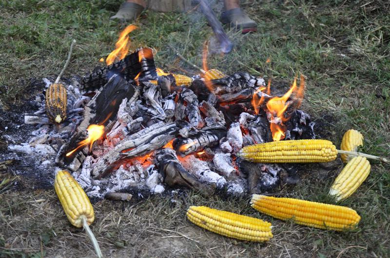 Kukuruz šećerac 2015. god. Pecenj10