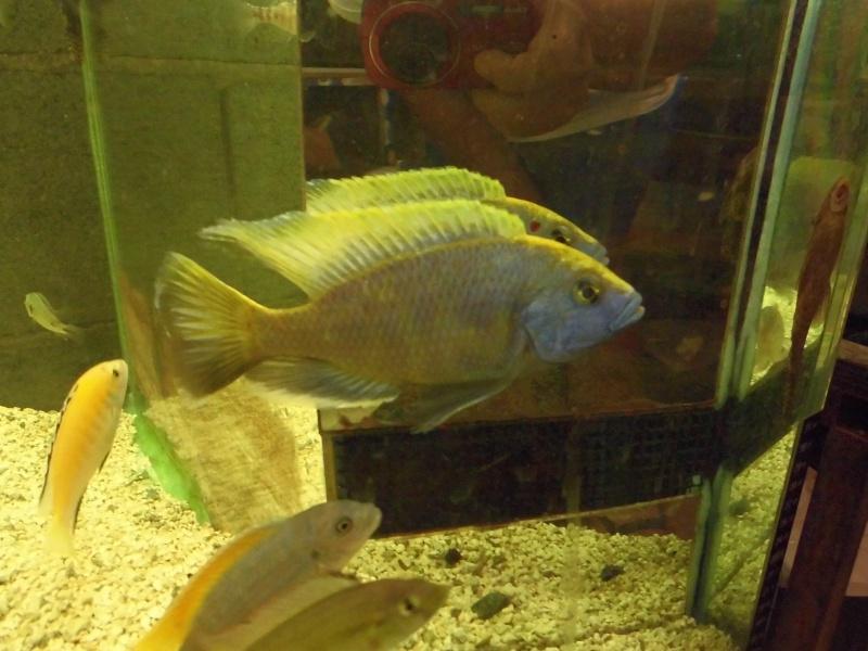 Nimbochromis Venustus vient d'arriver Cimg2713
